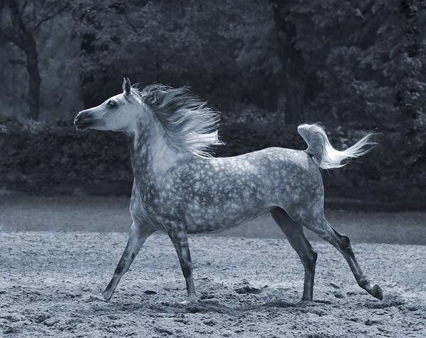 Arabian horse by missmoon