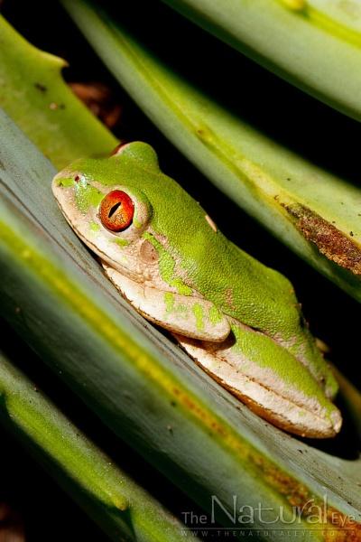 Natal Forest Treefrog by StNick