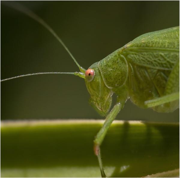 Great Green Bush Cricket by Glynn