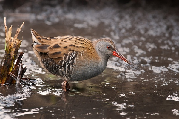 Water rail by Mike_Young