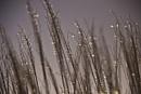Grass blade Crystals