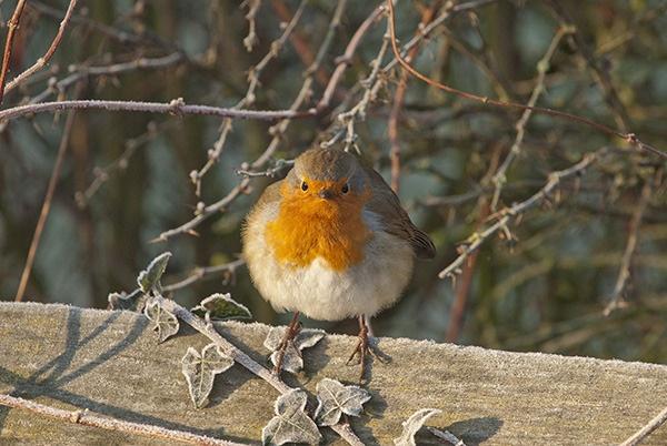 Hopeful Robin by Gudgeon