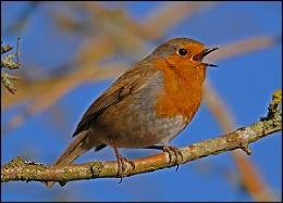 Robin Again!!!