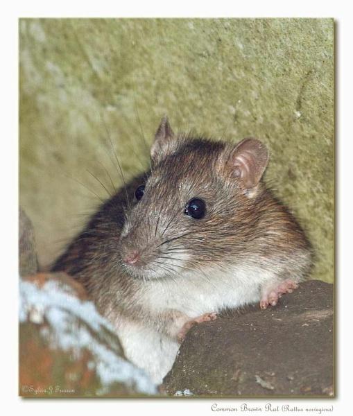 Common Brown Rat (Rattus norvegicus) by teocali