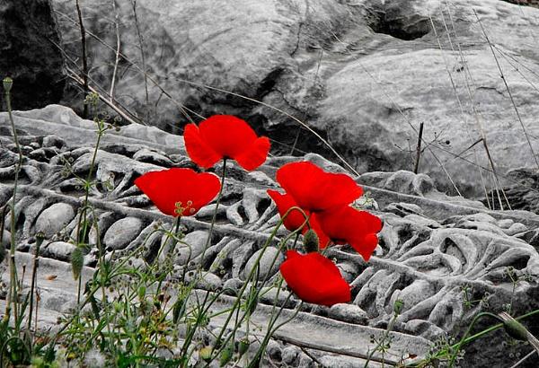 poppys by Spattigus