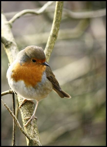 Robin by RobbieWales