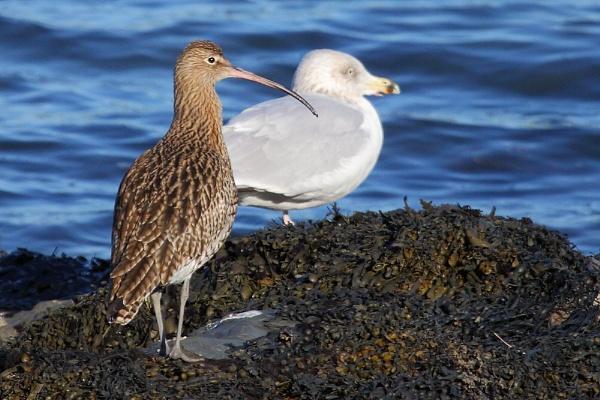Curlew & Gull by TerryMcK