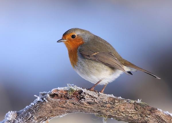 A Robin by Karen_Summers
