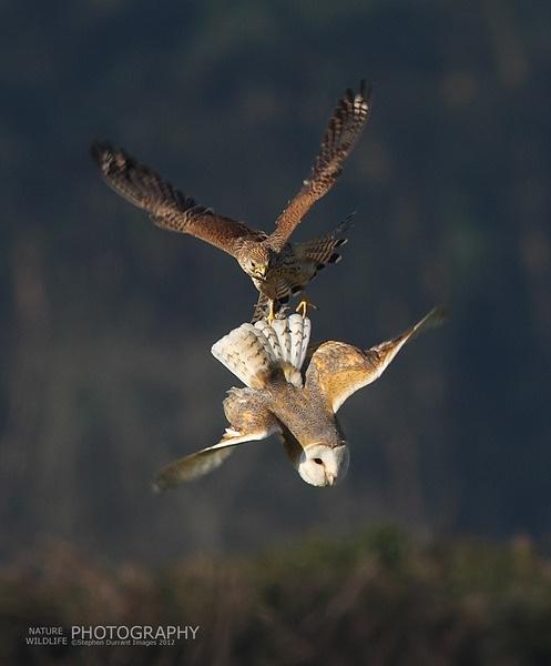 Kesteral /owl by StephenDurrant