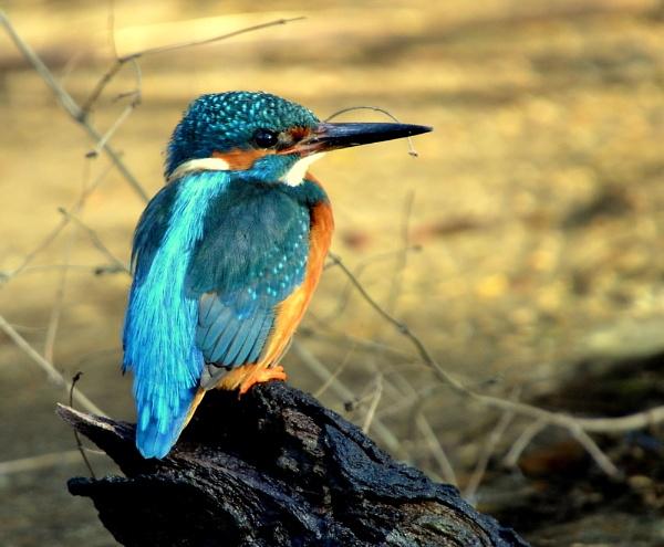 Male Kingfisher by JoshReptiles