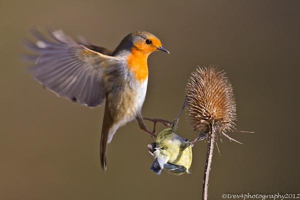 Robin in flight by trev4