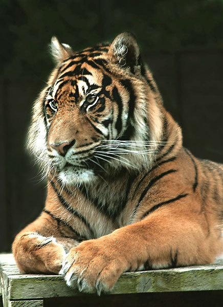 tiger 2 by STEVELIN
