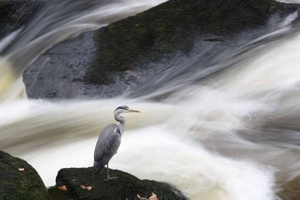 Grey Heron Fishing by darrenwilson41