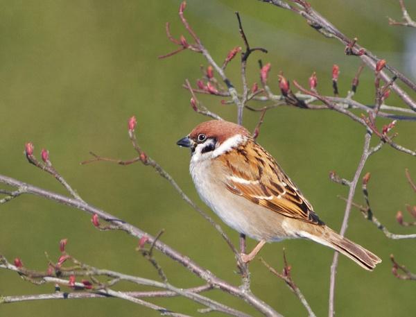 Eurasian Tree Sparrow by senn
