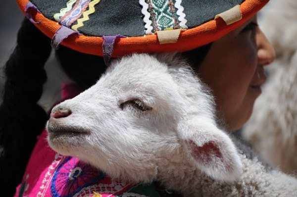 Andean lamb in Peru by TRAVELLINGFOOTPRINT