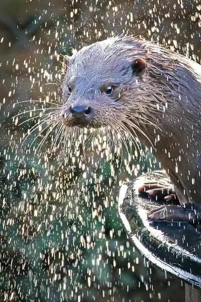 Otter by thatmanbrian