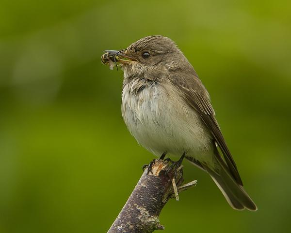 Spotted Flycatcher by MossyOak