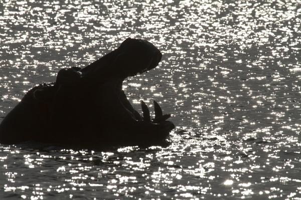 Hippo in the sun by PieterDePauw