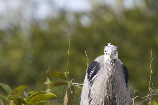 Firm Looking Heron by PieterDePauw