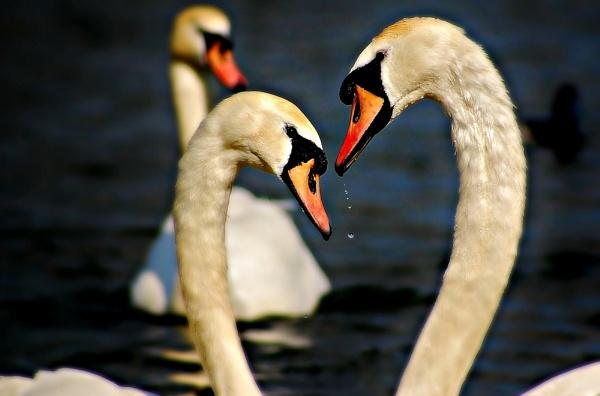 swan ritual by jka59