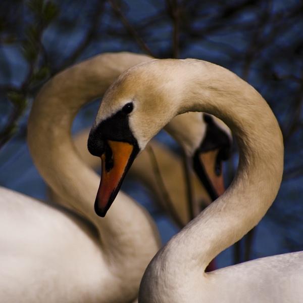 Swan Trio by jka59