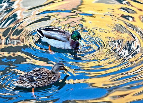 Ducks in Colmar by MacroMac
