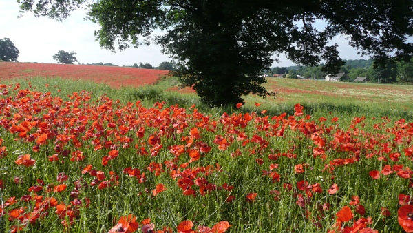Poppies galore ! by mashwood10