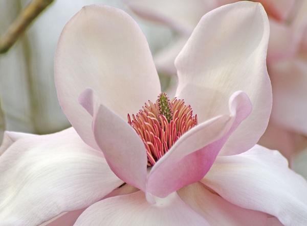 Magnolia ( Pink Beauty ) by mashwood10