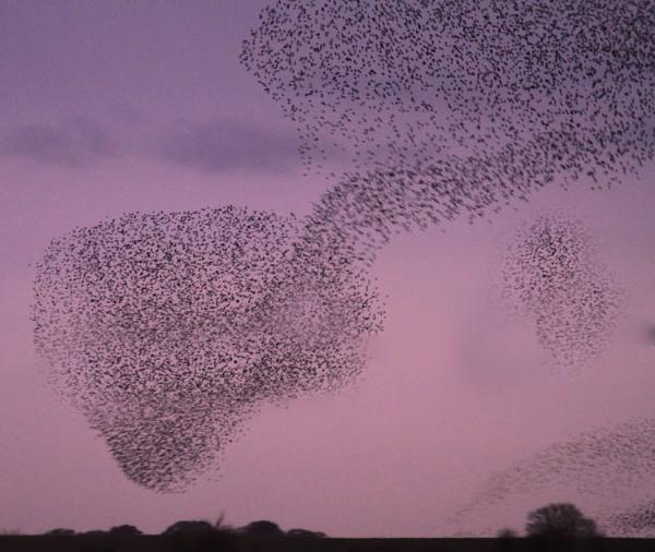 Gretna Starlings by danbrann
