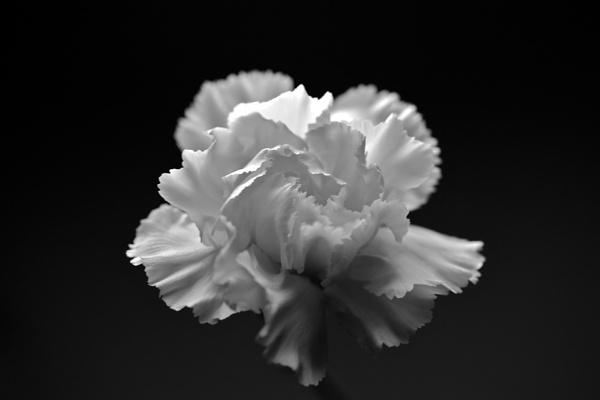 Carnation by danbaker1988