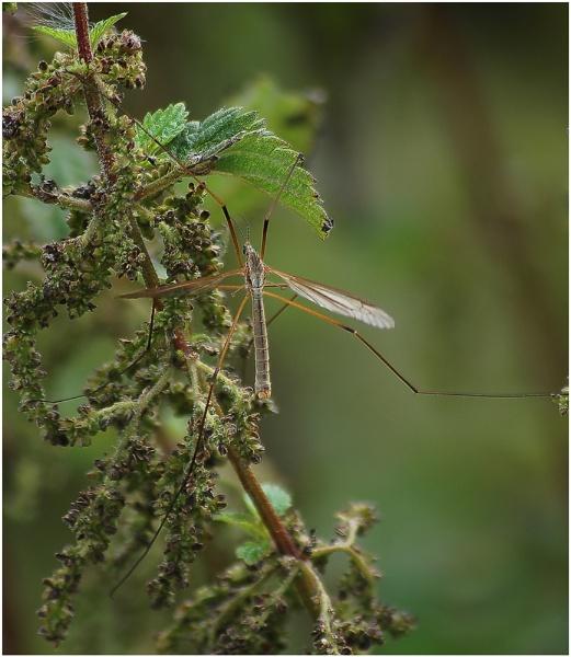 Tipula paludosa by Glynn