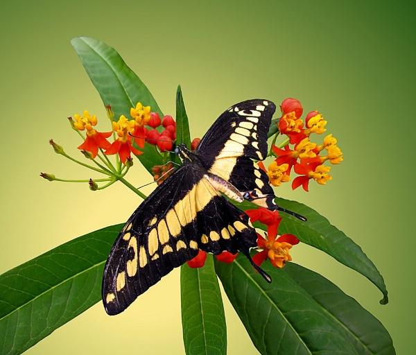 Thoas Swallowtail Butterfly by pamelajean