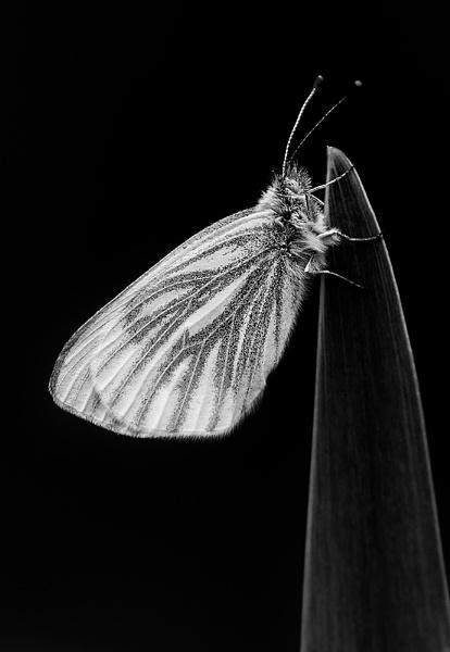 Green Vien Butterfly