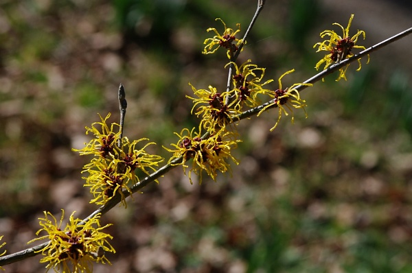 Witch Hazel by johnwnjr