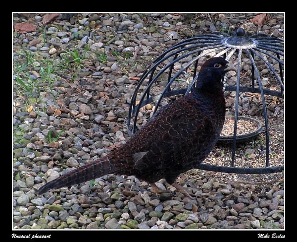 Unusual pheasant by oldgreyheron