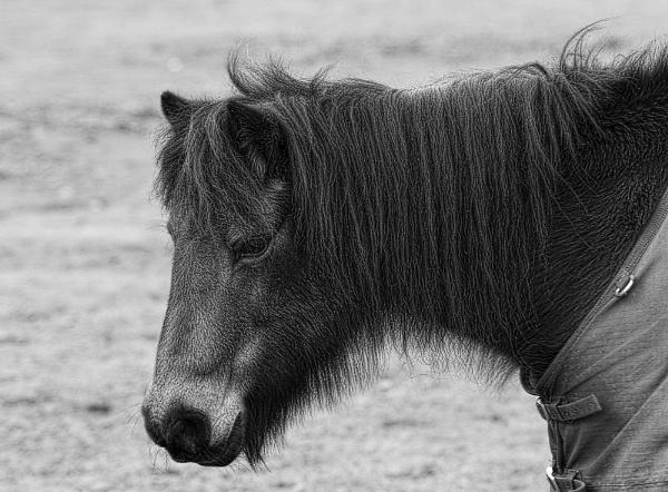 Pony by Jacobite