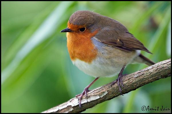 Robin by aj14