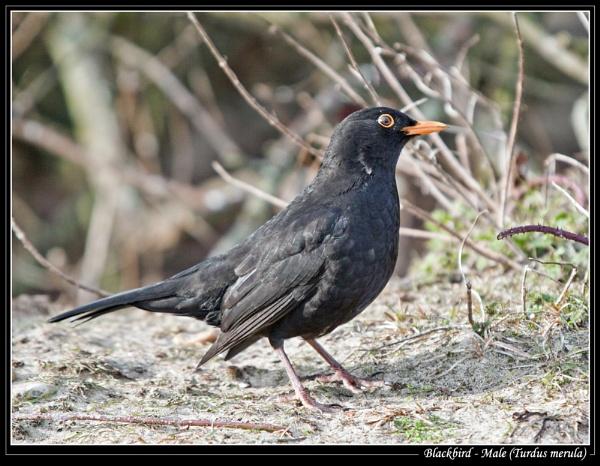 Blackbird - Male (Turdus merula) by Ray42