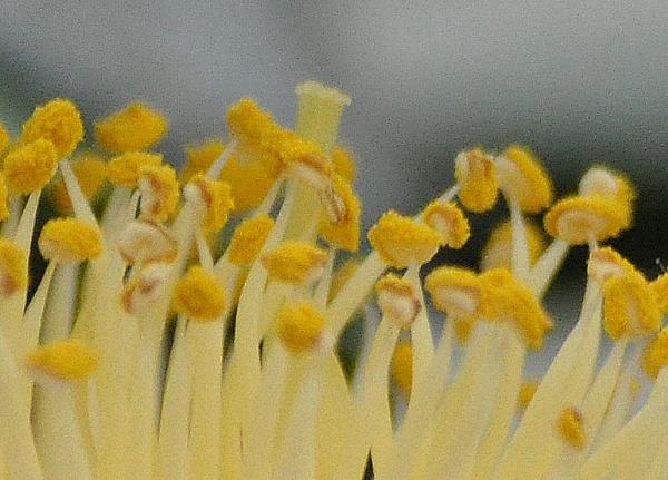 camelia pollen by Lynx08