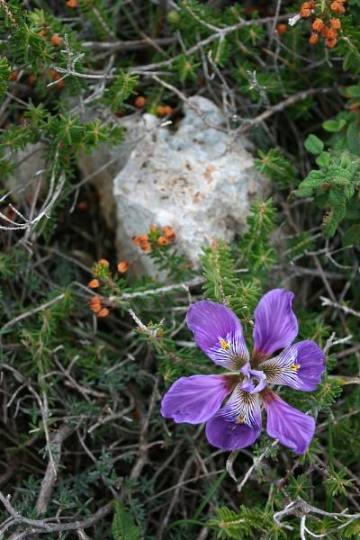 Wild Iris by eric6