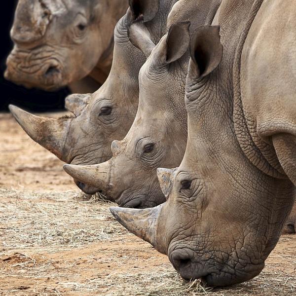 Rhinos by DanG
