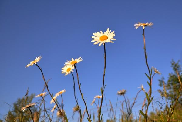 Meadow Daisies by bikerone