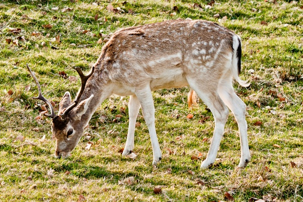 Stag at Knole House by darranl