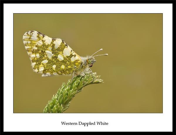 Western Dappled White by NigelKiteley