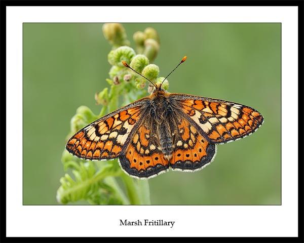 Marsh Fritillary by NigelKiteley