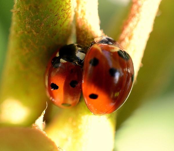 Pair Of Ladybirds by JoshReptiles