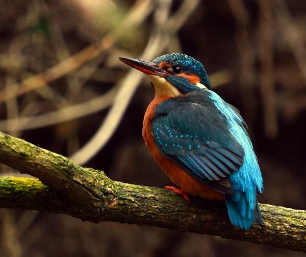 Kingfisher ( Female ) by JoshReptiles
