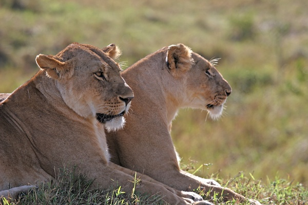Sisterly love .... Masai Mara by debs