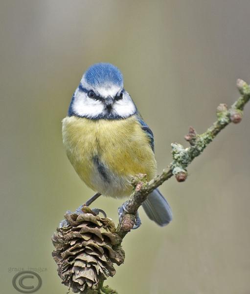 blue tit by p147180r