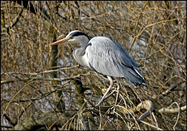 Grey Heron by f8